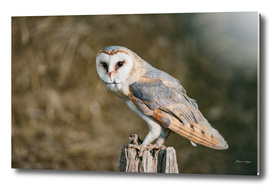 Barn owl perched on wooden post