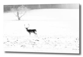 Fallow deer buck in snow