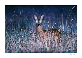 Roe deer buck at dusk