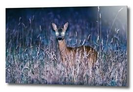 Roe deer buck at dusk