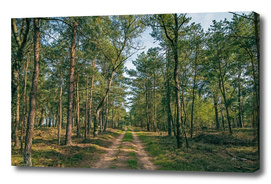 Panorama of country road in pine forest