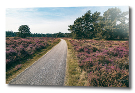 Country road in blooming moorland