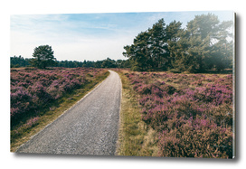 Country road in blooming moorland