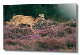 Young red deer stag in blooming heather
