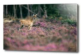 Young red deer in blooming moorland
