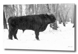 Highland bull in snowy forest