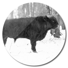 Highland bull in snowy forest