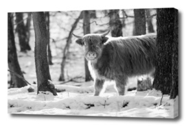 Highland cattle in snowy forest