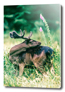 Fallow deer buck with velvet antlers in flower field