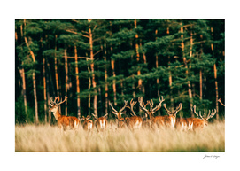 Herd of red deer stag with velvet antlers in sunlight
