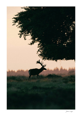 Red deer stag at sunset under tree
