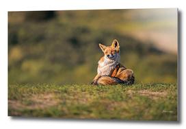 Scratching red fox in grass