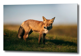 Red fox on grassy hill