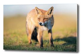 Red fox in sunlight in field