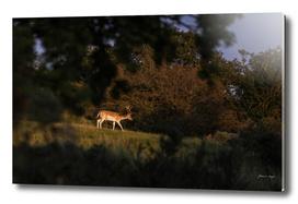Fallow deer buck in field lit by low sunlight