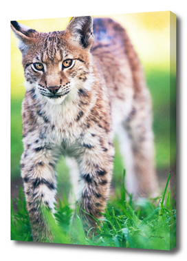 Young lynx walking in grass