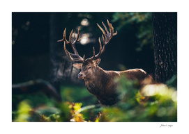 Red deer stag in autumn forest