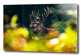 Red deer stag behind autumn leaves