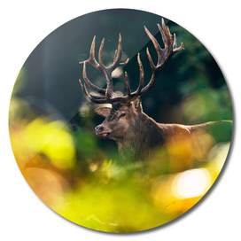 Red deer stag behind autumn leaves