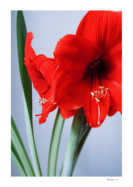 The Red Amaryllis