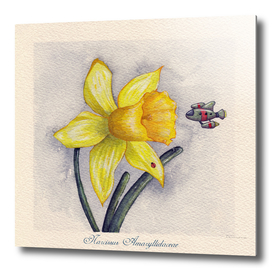 Future Botanical Studies - Daffodil