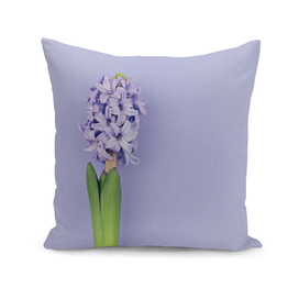 Blue hyacinth on purple