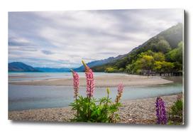 Lupin flowers in alpine scenery at Kinloch, New Zealand