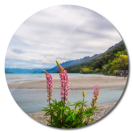 Lupin flowers in alpine scenery at Kinloch, New Zealand