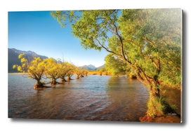 Willow trees glowing in the sun light at Glenorchy Wharf