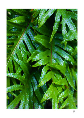 Hounds Tongue Fern