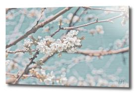 Apple blossom with elegant background