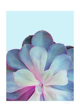 Light Blue Echeveria