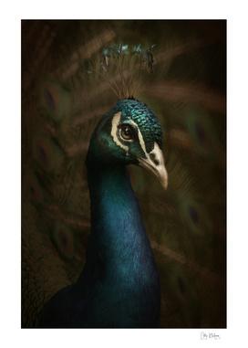 Spring Peacock