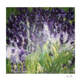 Black Knight Iris