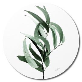 Eucalyptus - Australian gum tree