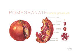 Pomegranate Cutaway Diagram