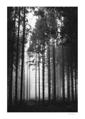 Tall trees in b&w