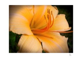 Orange Macro Lily