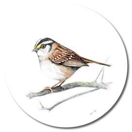Bird: Sparrow