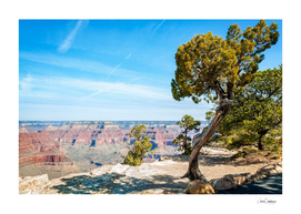 Windswept juniper tree at Hopi Point in Grand Canyon