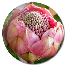 Pink bud Waratah