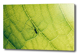 Nursery Web Spider On Green Leaf