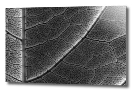 Infrared Leaf Texture With Visible Stomata On Epidermis