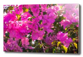 Pink Bougainvillea