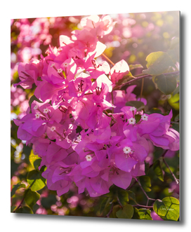 Wonderful backlit bougainvillea