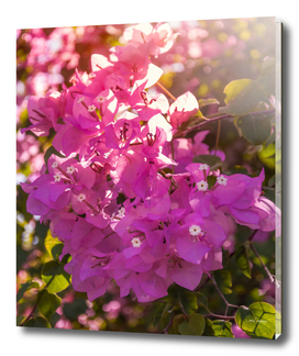 Wonderful backlit bougainvillea