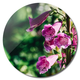 Pink Digitalis Foxgloves Plant Flowers In Garden