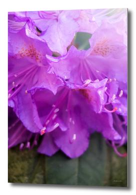 Purple Azaleas