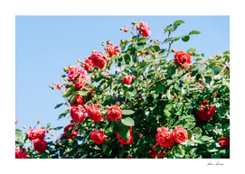 Beautiful Red Roses Garden In Summer