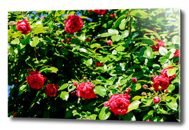 Beautiful Red Roses Garden In Summer